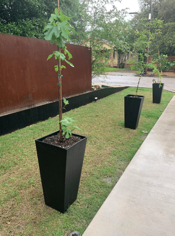 Mandarin orange, pomegranate, and fig trees planted in a pot