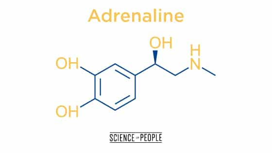 "Adrenaline, the ""fight or flight"" hormone"